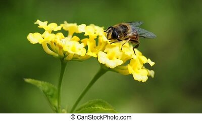 hover-fly on west indian lantana