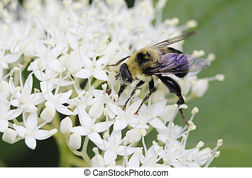 Hover Fly Pollinatiing an Alternate-leaved Dogwood - Hover...
