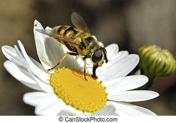 Hoverfly feeding on daisy flower - Macro of black and yellow...