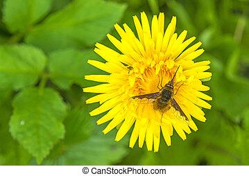 hoverfly, fleur, pissenlit