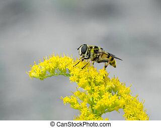 hoverfly (Myathropa florea)