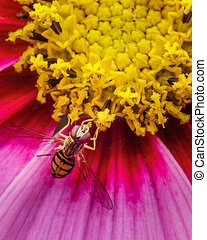 Hoverfly on a flower getting some nectar
