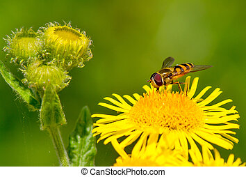 Hoverfly on a yellow flower.