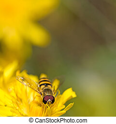 Hoverfly on Dandelion