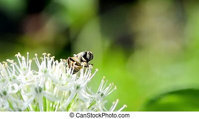 Hoverfly on giant onion flower - Hoverfly collecting nectar...