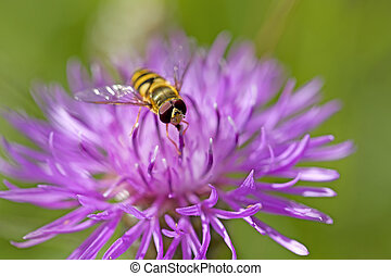 Hoverfly on knapweed