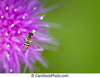 Hoverfly on thistle flower