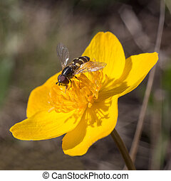 hoverfly sitting on a yellow flowe