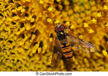 Hoverfly (syrphid) feeding on a sunflower (Helianthus annuus)