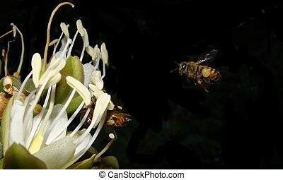 Hovering Bee - A bee hovering over a carob tree flower