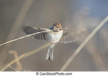 Hovering FIeld Sparrow