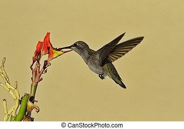 Hovering hummingbird dips beak into Ladyslipper flower