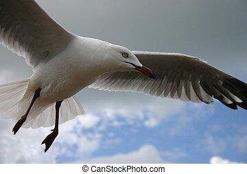 Seagull hovering in flight