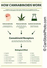 How Cannabinoids Work vertical infographic Complete - How ...
