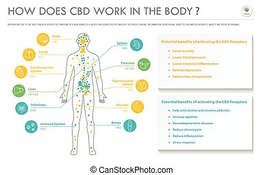 How Does CBD Work In the Body horizontal business infographic