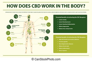 How Does CBD Work in the Body horizontal infographic illustration about cannabis as herbal alternative medicine and chemical therapy, healthcare and medical science vector.