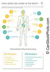 How Does CBD Work In the Body vertical business infographic