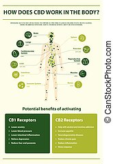 How Does CBD Work in the vertical infographic