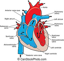 human heart - how does the human heart work