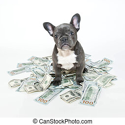 How Much is a Puppy Worth? - French bulldog puppy sitting in...