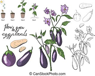 How to grow eggplants. Isolated fresh vegetables, different ...