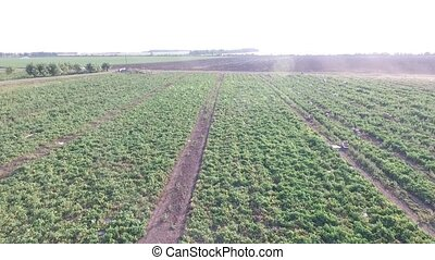 How vegetables grow on the field. - green agriculture field...