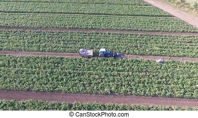 How vegetables grow on the field. Tomatoes, zucchini,...