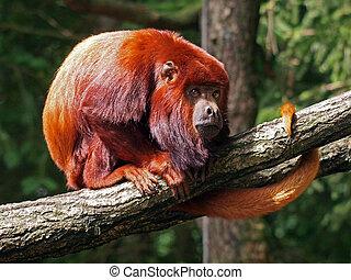 howler, czerwony, małpa