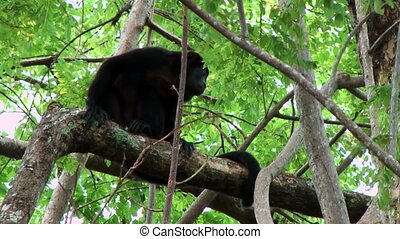 howler monkey costa rica sitting on an branch during strong...