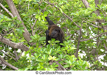 Howler Monkey Looking Up