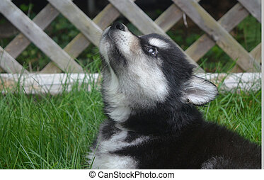 Howling Alusky Puppy with His Lips Pursed to Howl