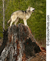Wolf howling atop burned tree stump near Golden, British Columbia, Canada.