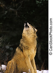 Howling wolf Sitting