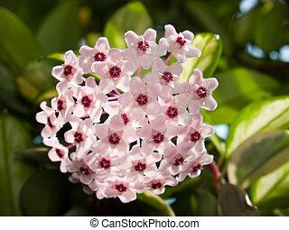 Hoya carnosa cv. Variegata - Hoya carnosa blooming with...