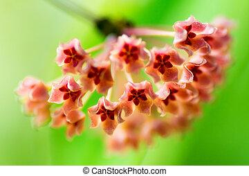 Hoya fischeriana, APOCYNACEAE