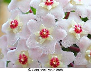 Hoya flowers - Hoya (Hoya carnosa) flowers