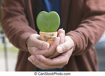 Hoya Kerrii, Sweetheart Hoya Care, Symbol of love, A gift for Valentine