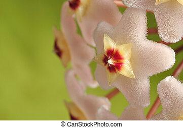 hoya, květiny