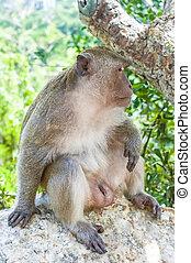 Hua Hin Monkey 13 - A Macaque Monkey in the Khao Takiap area...
