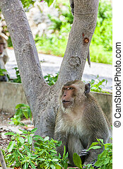 Hua Hin Monkey - A Macaque Monkey in the Khao Tahiap area of...