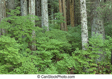 Beautiful green huckleberry bushes in dense forest near Sitka on Baranof Island in southeast Alaska