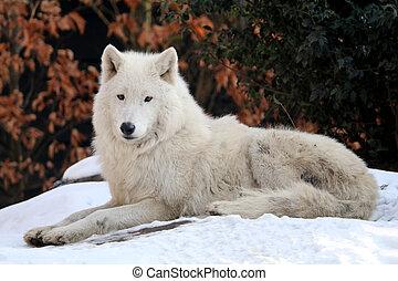 hudson, loup, baie, neige