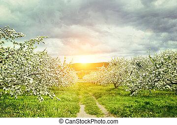 huerto de manzana, en, primavera
