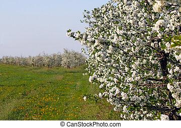 huerto de manzana, estación, rama de árbol, flores del resorte