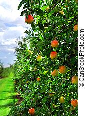 huerto de manzana