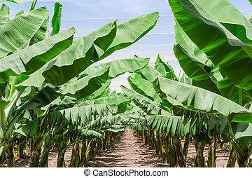huerto, exuberante, leafage, plantación, árboles de palma,...
