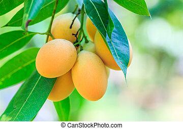 huerto, marian, mayongchid, ciruela, maprang, mango, ...