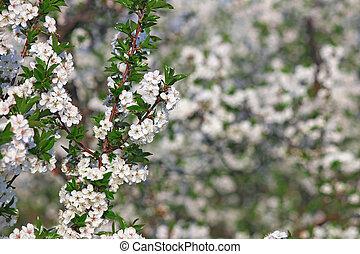 huerto, primavera, rama de árbol, estación, flores