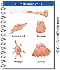 hueso, anatomía, células, humano