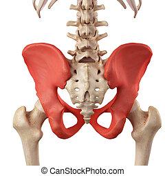 hueso de la cadera